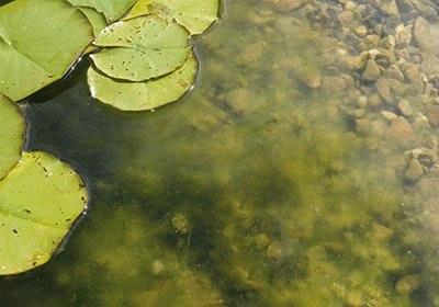 Gartenteich mit Seerosen der stark mit Algen bewachsen ist.