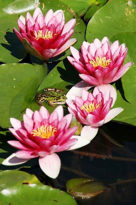 Frosch sitzt auf Seerosen