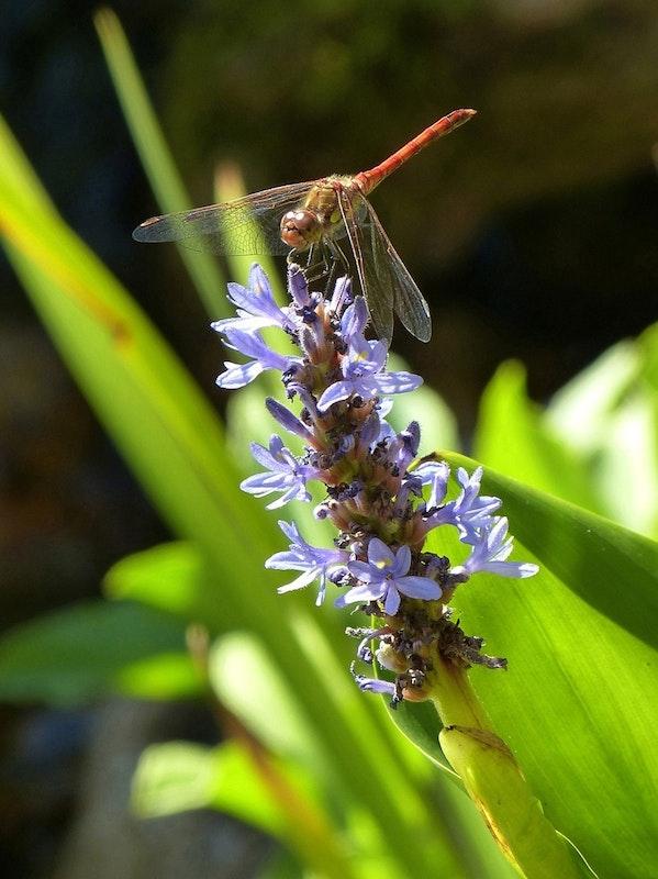 Libelle sitzt auf einer Blume mit blauen Blüten.