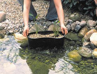 Teichbau Schritt 10: In den gefüllten Teich werden Wasserpflanzen in Pflanzkörben eingesetzt