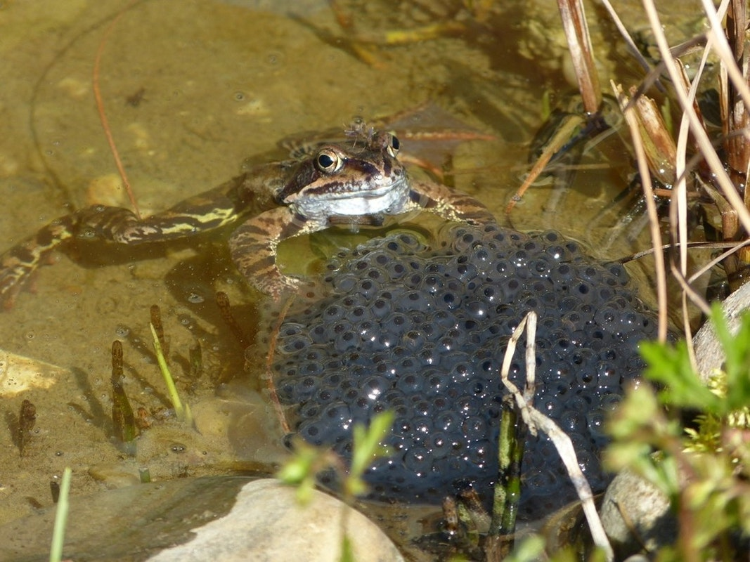 Frosch mit Froschlaich im Teich