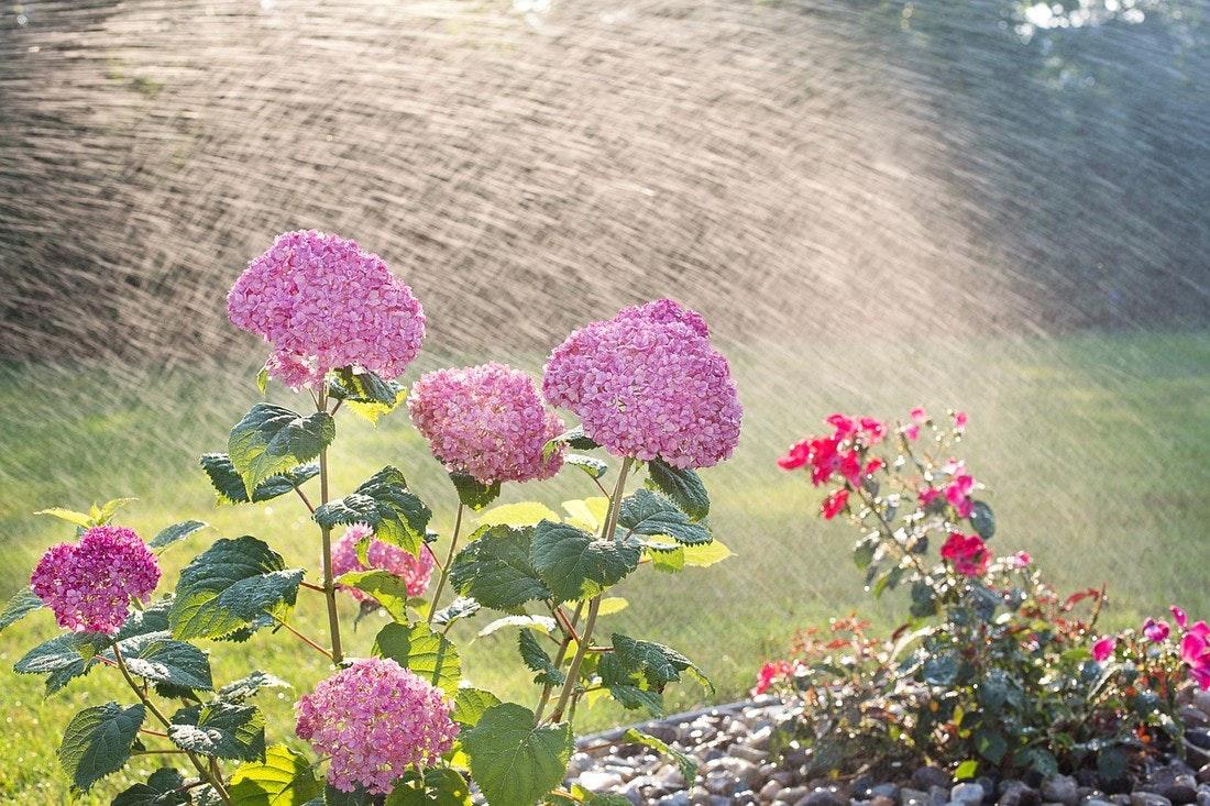 Hortensie - Bewässerung mit Gardena
