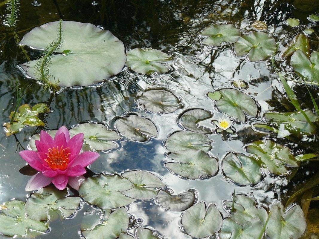 Seerosen im Teich mit rosa Blüte