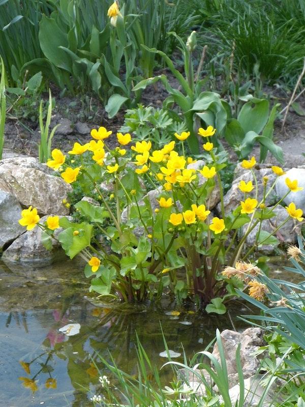 Gelbe Blumen am Teichrand