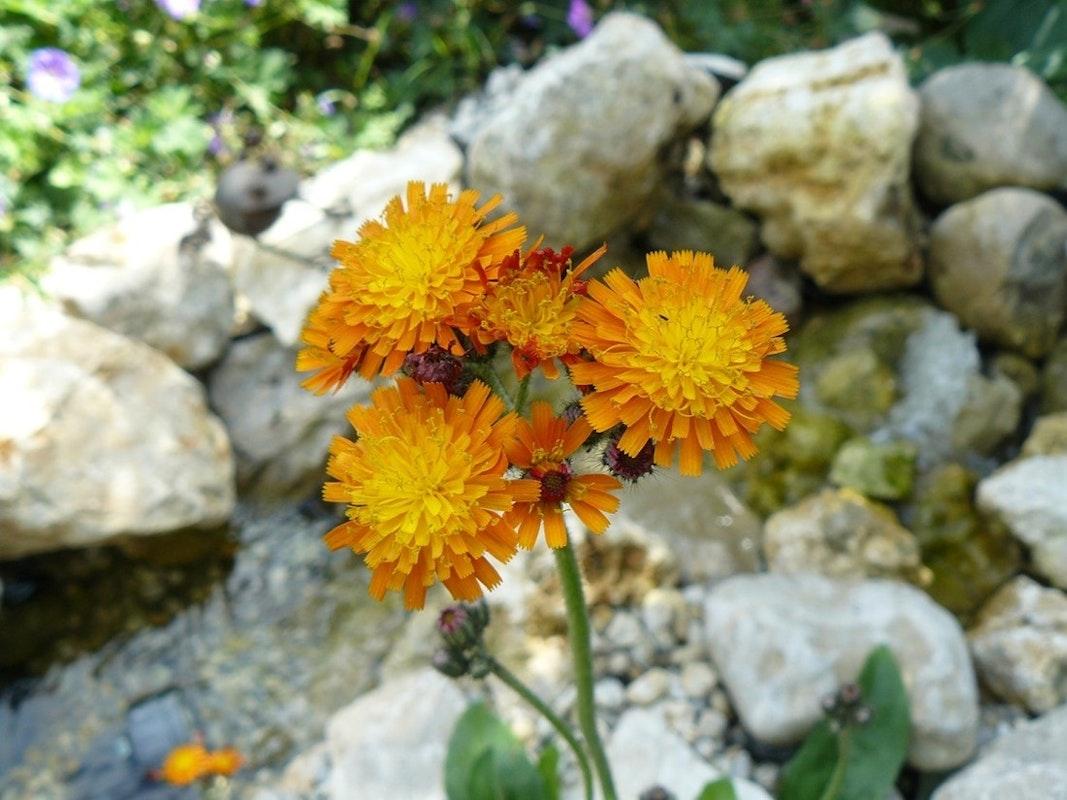 Teichpflanze mit fünf orange-gelben Blüten