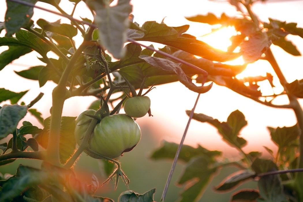 Tomaten_im_Garten