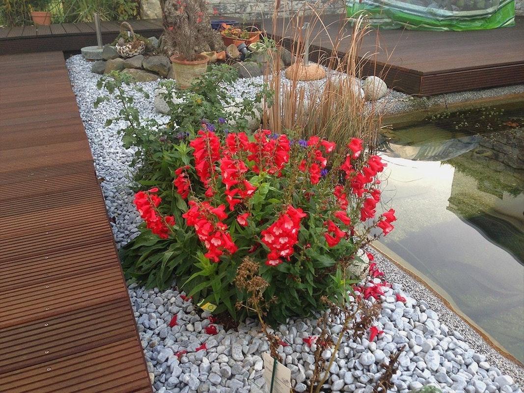 Rote Löwenmäulchen am Teichrand