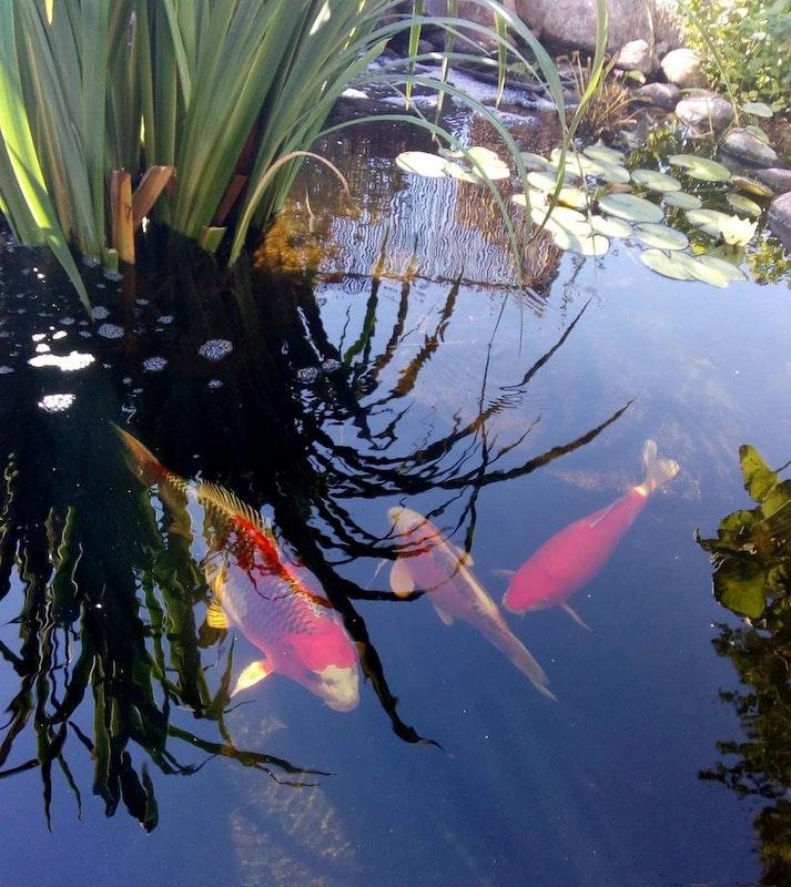 Die Kois im Teich versteken sich Im Schatten der Wasserpflanzen.