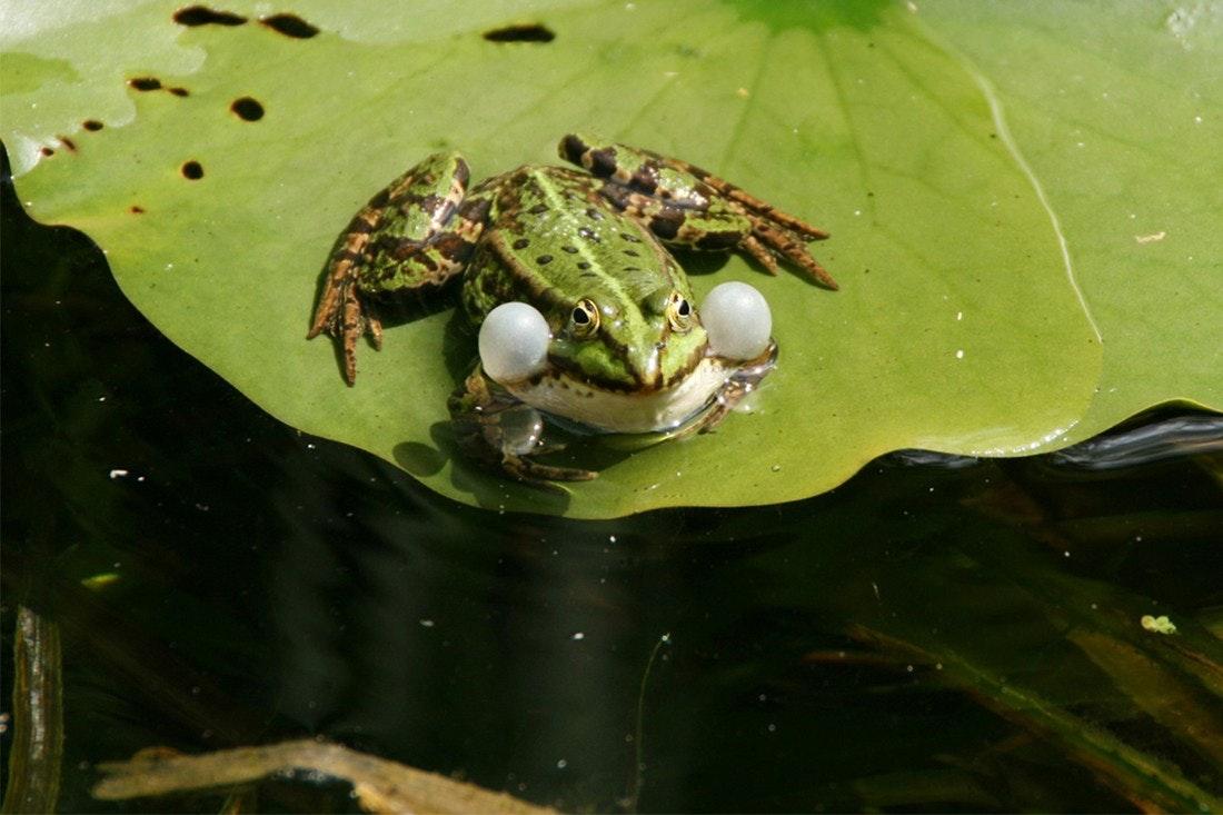 Frosch mit aufgeblähten Backen sitzt auf einem Seerosenblatt im Teich