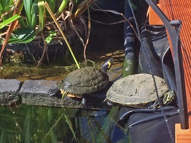 Schildkröten am Teichrand