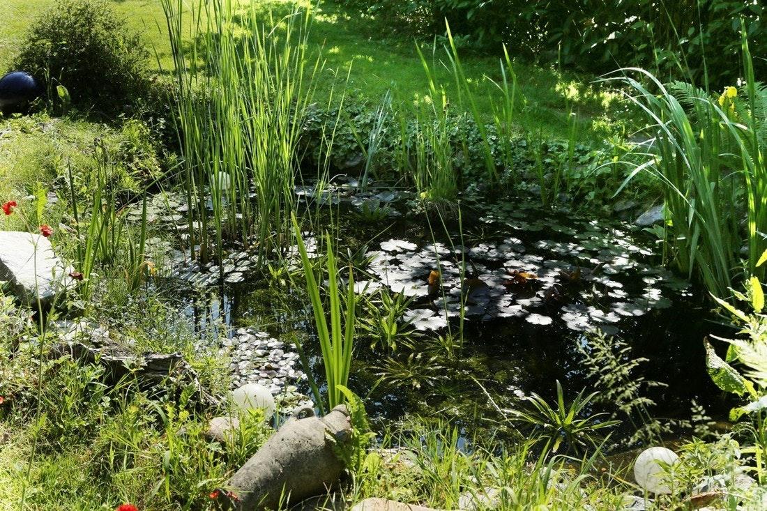 Naturnaher Gartenteich im Grünen, bewachsen mit Schilf und Seerosen.