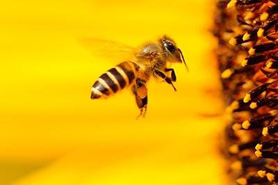 Biene am Blumenstempel