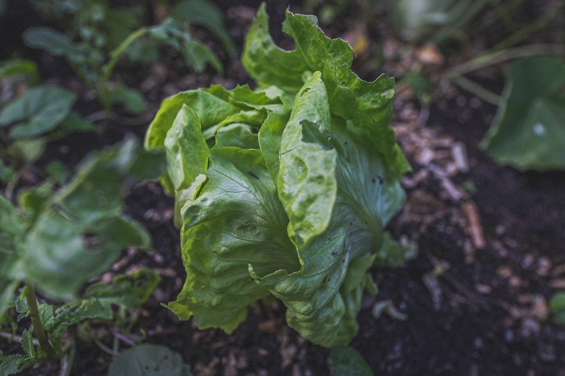 Der eigene Salat im Gewächshaus oder im Hochbeet?