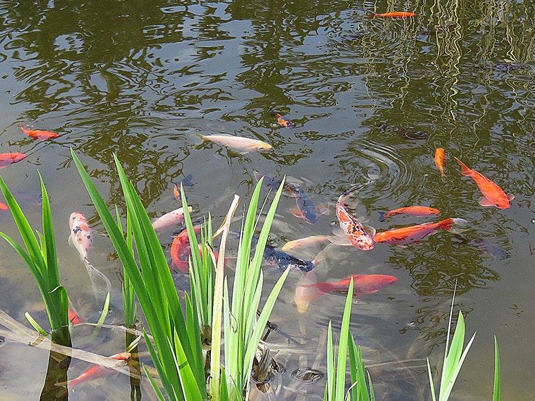 Goldfischteich mit üppig bepflanztem Ufer