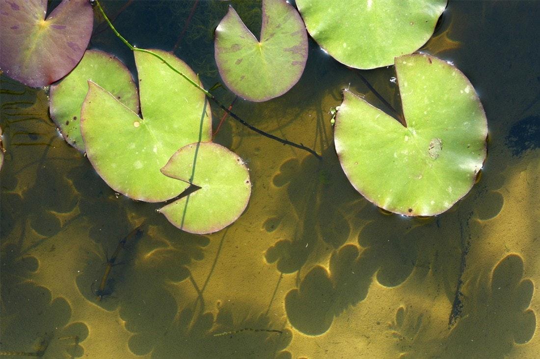 Die Seerosen werfen ihre Schatten im klaren Teichwasser bis auf den Grund.