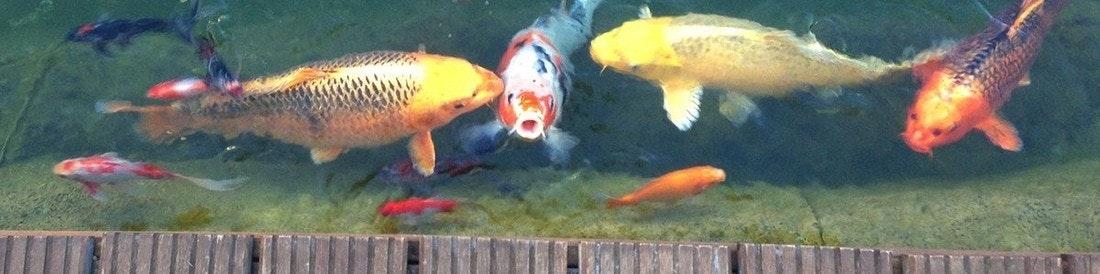 Kois und Goldfische schwimmen nahe an einem Holzsteg.