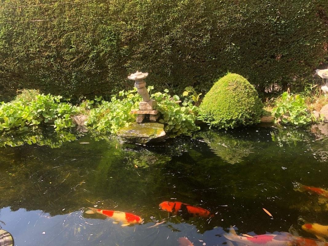 Kois im Wasser, Teichrand
