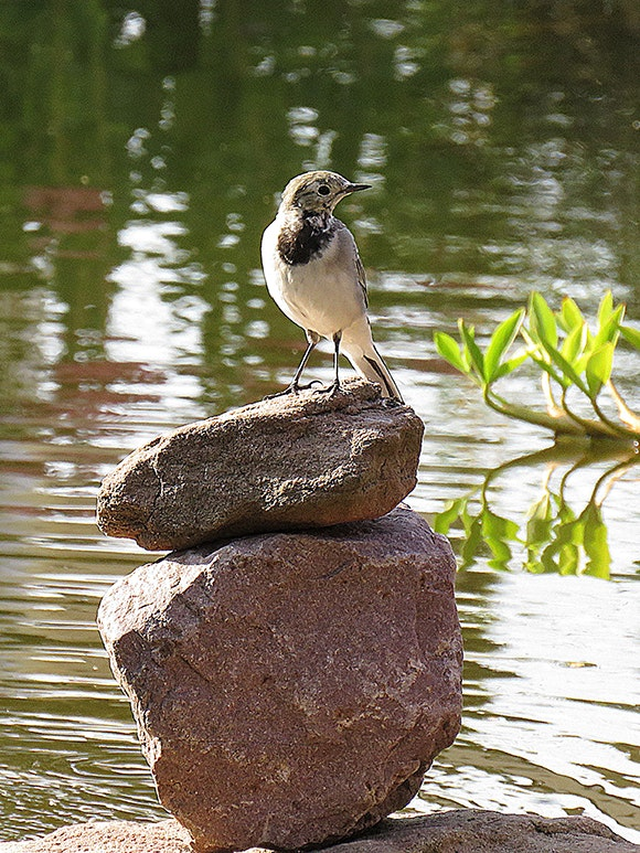 Bachstelze sitzt auf einem Steinturm am Teich
