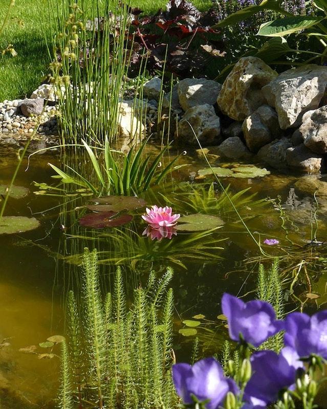Teich bei Sonnenschein mit vielen Wasserpflanzen und rosa und lila Blüten.