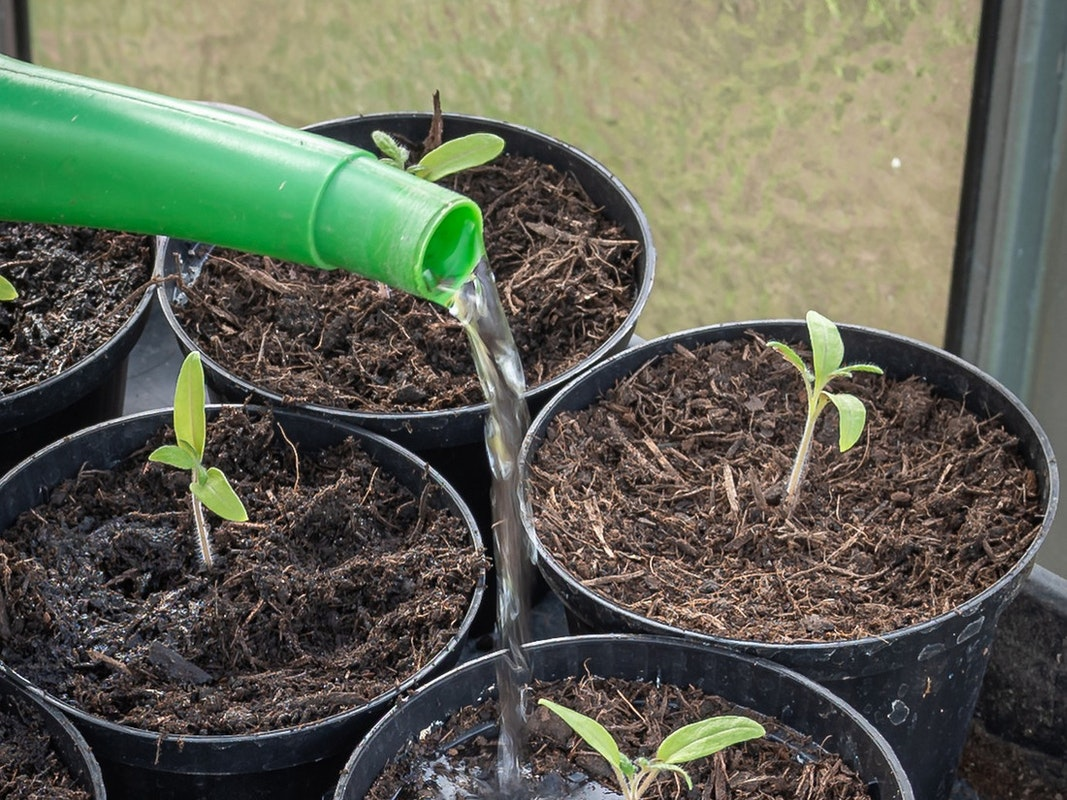 Gießen von Jungpflanzen