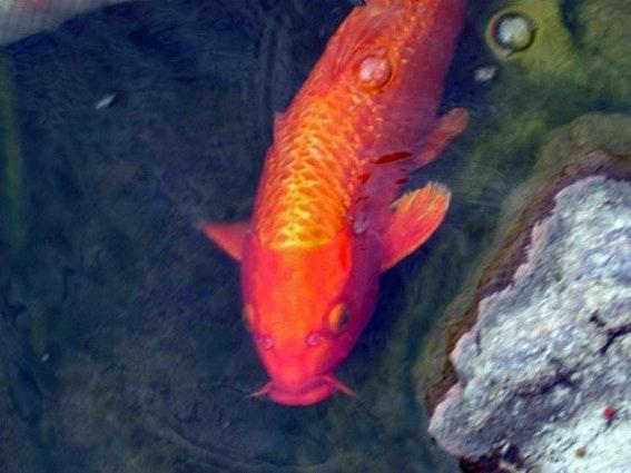 oranger Koi