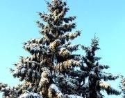 Nordisches-Fichtenholz